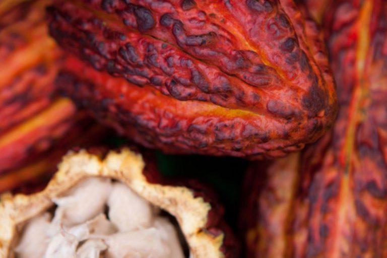 Conoce la huella hídrica del cacao