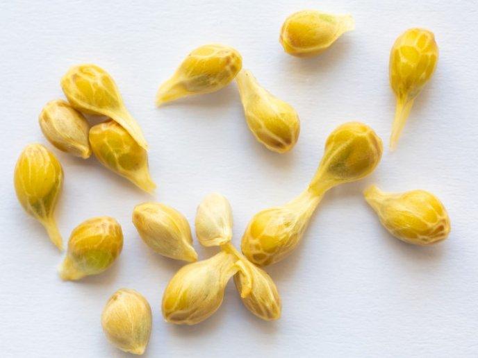 Aprende a germinar de manera correcta las semillas de limón