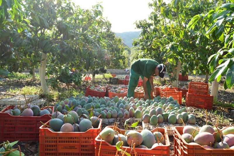 Piura y Lambayeque se posicionan como las principales regiones exportadoras de mango