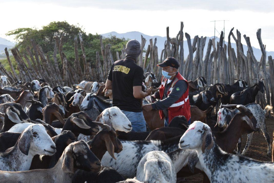 Vacuna a más de 28 mil cabezas de ganado en Piura