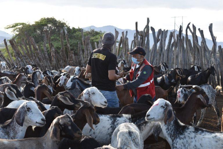 Vacunan a más de 28 mil cabezas de ganado en la región Piura