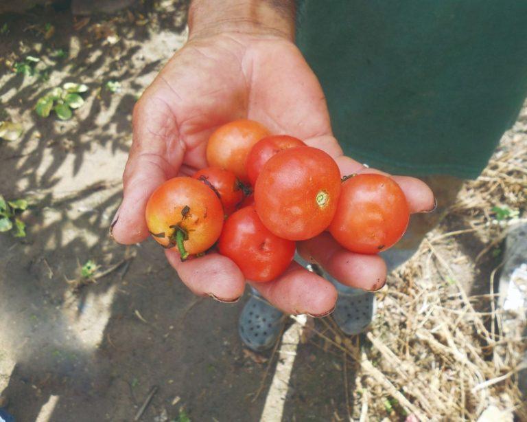 El 90% de tomates que se producen en el mundo tienen su origen en el Perú