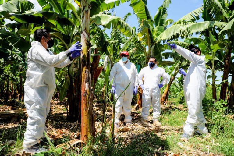 Coordinan acciones en resguardo de hectáreas de producción de banano en Piura