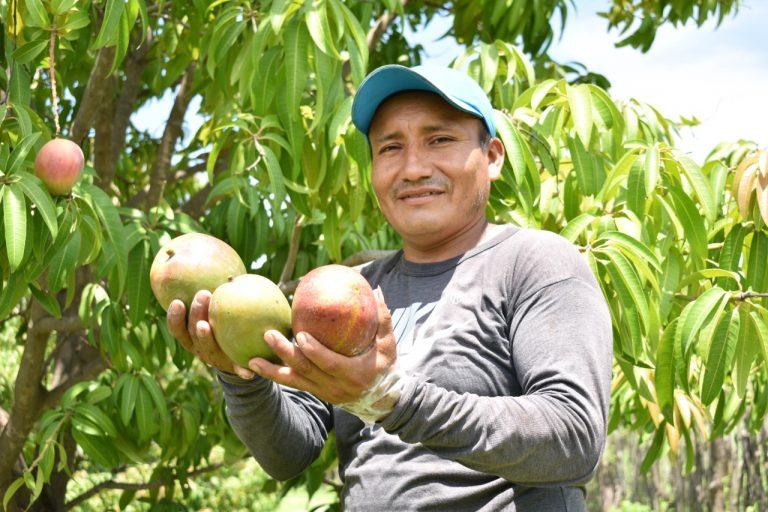 Productores peruanos de mango exportaron más de 232 mil toneladas en campaña 2020-2021