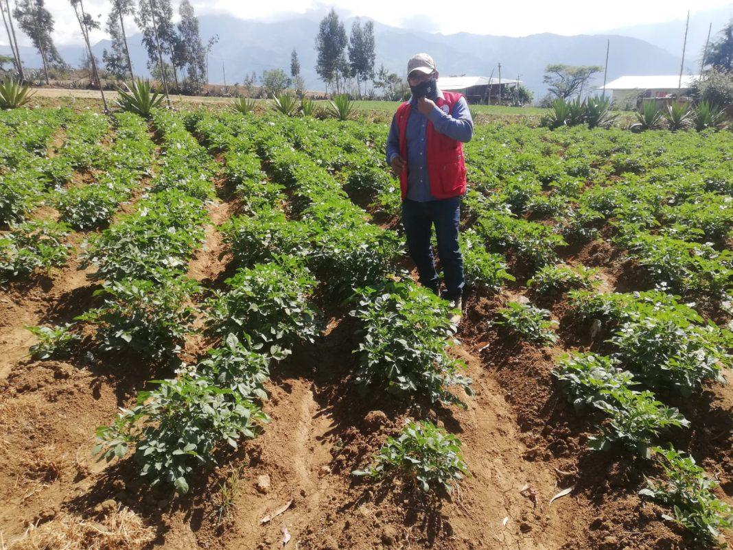 Proyecto de cultivo de papa beneficiará a zonas altoandinas de Piura