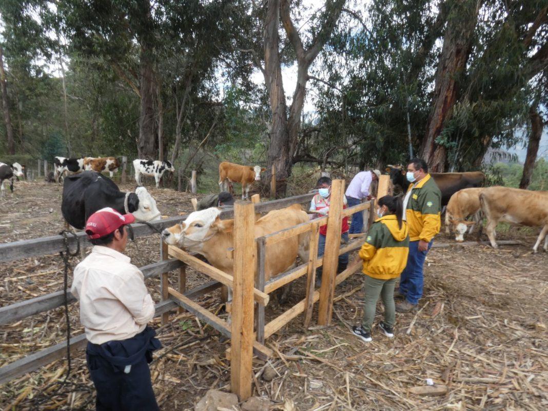 Productores mejorarán ganado con inseminación artificial en Huancabamba