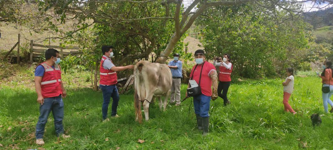 Incrementarán producción ganadera en Huancabamba